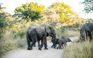 Mdluli-Safari-Lodge-Wildlife-Elephant