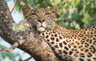 Sabi-Sabi-Selati-Camp-Wildlife-Leopard