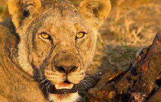 Black-Rhino-Wildlife-Lion