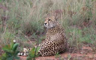 Clifftop-Exclusive-Safari-Hideaway-Wildlife-Cheetah