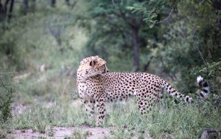 Mdluli-Safari-Lodge-Cheetah-Wildlife