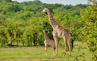 Chundu-Island-Wildlife-Giraffe-scaled