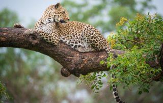 Sabi-Sabi-Earth-Lodge-Wildlife-Leopard