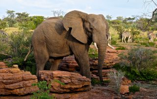 Nunguane-Wildlife-Elephant-at-lodge