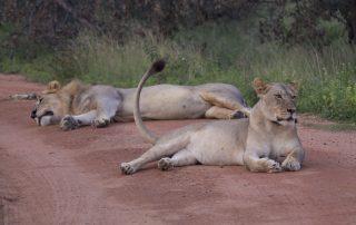 Inzalo-Wildlife-Lion