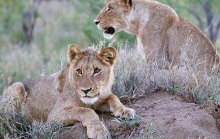 Imbali-Safari-Lodge-Lion