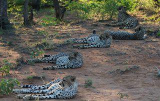 Inzalo-wildlife-Cheetah