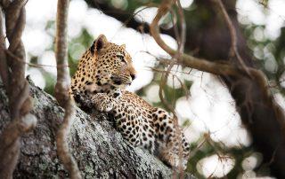 Rhino-Ridge-Safari-Wildlife-Leopard