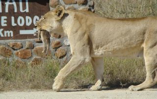 Tau-Game-Lioness-with-Cub-and-Tau-sign