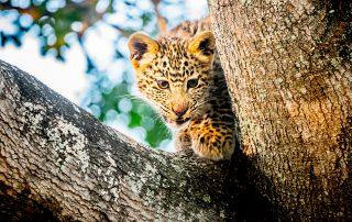 Tintswalo-Safari-Wildlife-leopard-cub