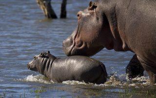 Mjejane-River-Lodge-Hippo