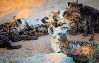 Rhino-Ridge-Safari-Wildlife-Hyena
