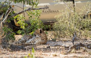 Arathusa-Safari-Lodge - Game Drive - Cheetah