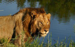 Idube-Lion-At-River