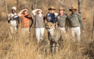 Karongwe-Becks-Safari-Walking-on-foot-with-cheetah