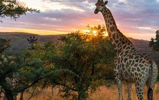 Finfoot-Lake-Reserve-WILDLIFE-Giraffe