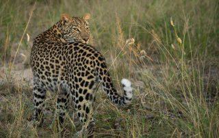 Jabulani-Wildlife-Leopard
