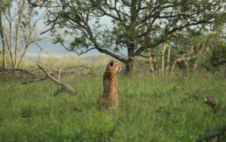 Amakhosi-Safari-Cheetah
