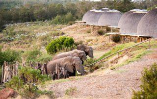 Gondwana-Kwena-Elephant-at-lodge