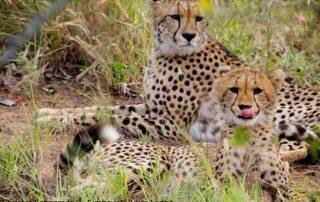 Camp-George-Simbavati-Cheetah-Wildlife
