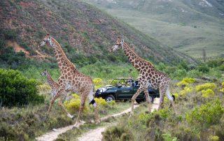 Gondwana-Game-drive-Wildlife-giraffe