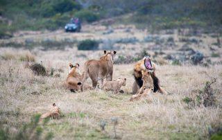 Gondwana-Game-drive-Wildlife-lion-pride