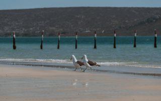 Shark-Bay-Seagulls