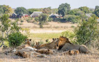 Mala-Mala-Camp-Lion-Pride-at-Lodge