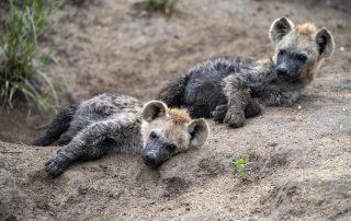 Simbavati-Trails-Camp-Hyena-wildlife