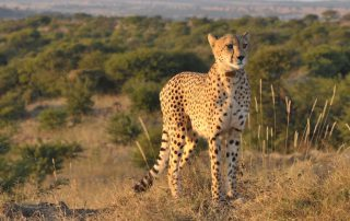 Springbok-Lodge-Cheetah-Wildlife