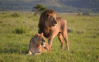 springbok-Lodge-Wildlife-Lion