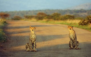 Thanda-Game-Reserve-Wildlife-cheetah