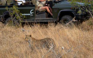 Mala-Mala-Game-Drive-Leopard.
