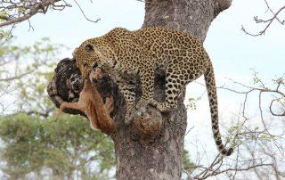 Simbavati-Leopard-kill-wildlife