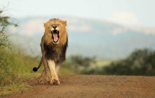 Thanda-Game-Reserve-Wildlife-lion-