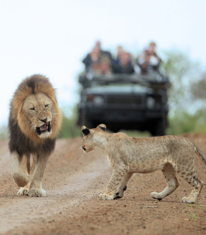 Thanda-Game-Reserve-Wildlife-Lion-game-drive