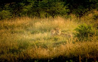 Umzolozolo-Xscape4u-Lion-Wildlife-Nambiti-Game-Reserve