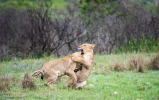 Tented-Eco-Camp-Xscape4u-Activity-Lion-Tracking-Gondwana-Game-Reserve