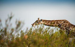 Tented-Eco-Camp-Xscape4u-Game-Drive-Giraffe-Gondwana-Game-reserve