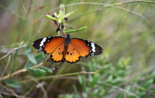 Tented-Eco-Camp-Xscape4u-Monarch-Butterfly-Gondwana-Game-Reserve