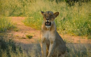 Garonga-Safari-Xscape4u-Lioness-Makalali-Game-Reserve-credit-Alicia-Erickson