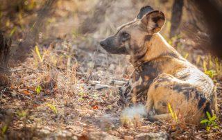 Garonga-Xscape4u-Wildfife_wild-dog-Makalali-Game-Reserve