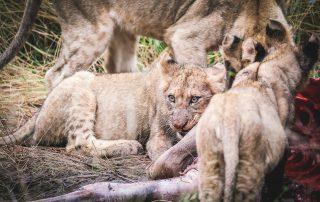 Garonga-Game-Lodge-Xscape4u-Lion-Kill-2-Makalali-Game-Reserve-credit-Monique-De-Caro.