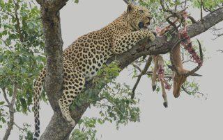 Jacis-sabi-house-Xscape4u-Leopard-Hukumuri-in-tree-Sabi-Sand-Game-Reserve