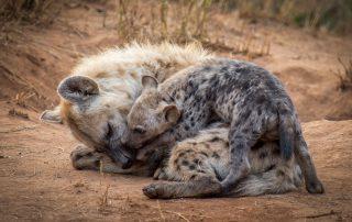 Garonga-Safari-Xscape4u-Wildlife-hyena-makalali-game-reserv