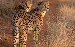 Garonga-Xscape4u-Wildlife-cheetah-makalali-game-reserve