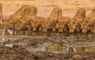 Jacis-sabi-house-Xscape4u-Lions-Drinking-Sabi-Sand-Game-Reserve