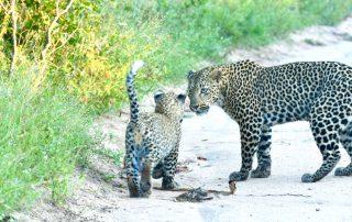 Jacis-Sabi-House-Xscape4u-leopard-and-cub-Sabi-Sand-Game-Reserve