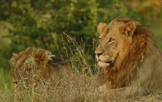 Nkambeni-Safari-Xscape4u-Wildlife-Lion-Kruger-National-par