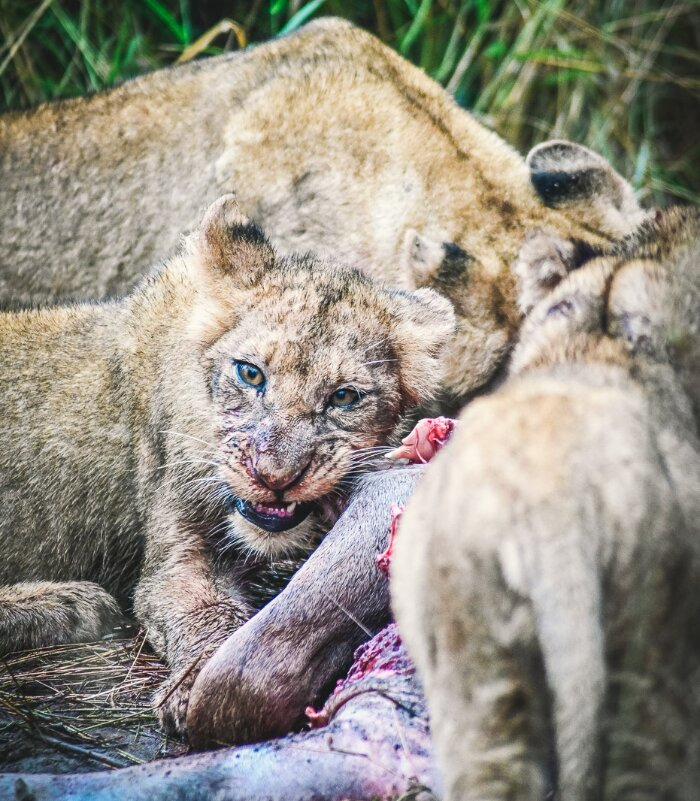 Little-Garonga-Xscape4u-Lion-Kill-Makalali-Game-Reserve-credit-Monique-De-Caro